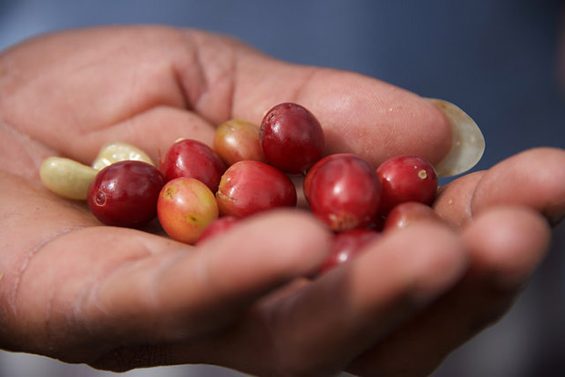 Coffee cherries from the Blue Mountains of Jamaica are exceptional in size.