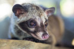 Interesting Facts About Civet Coffee